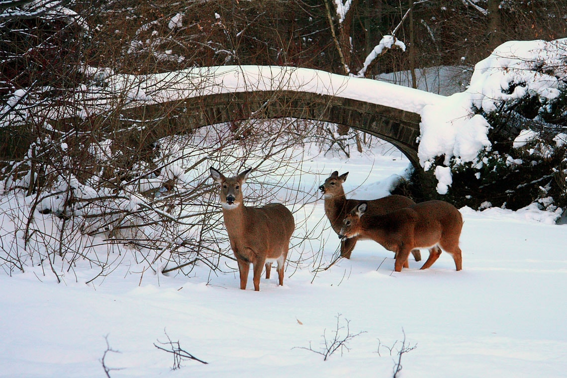photo of deer at U of T Mississauga campus