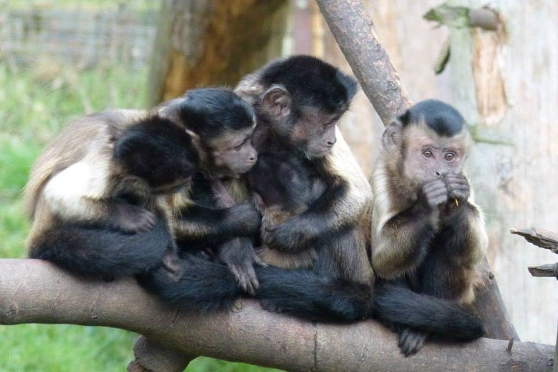Photo of capuchin monkeys