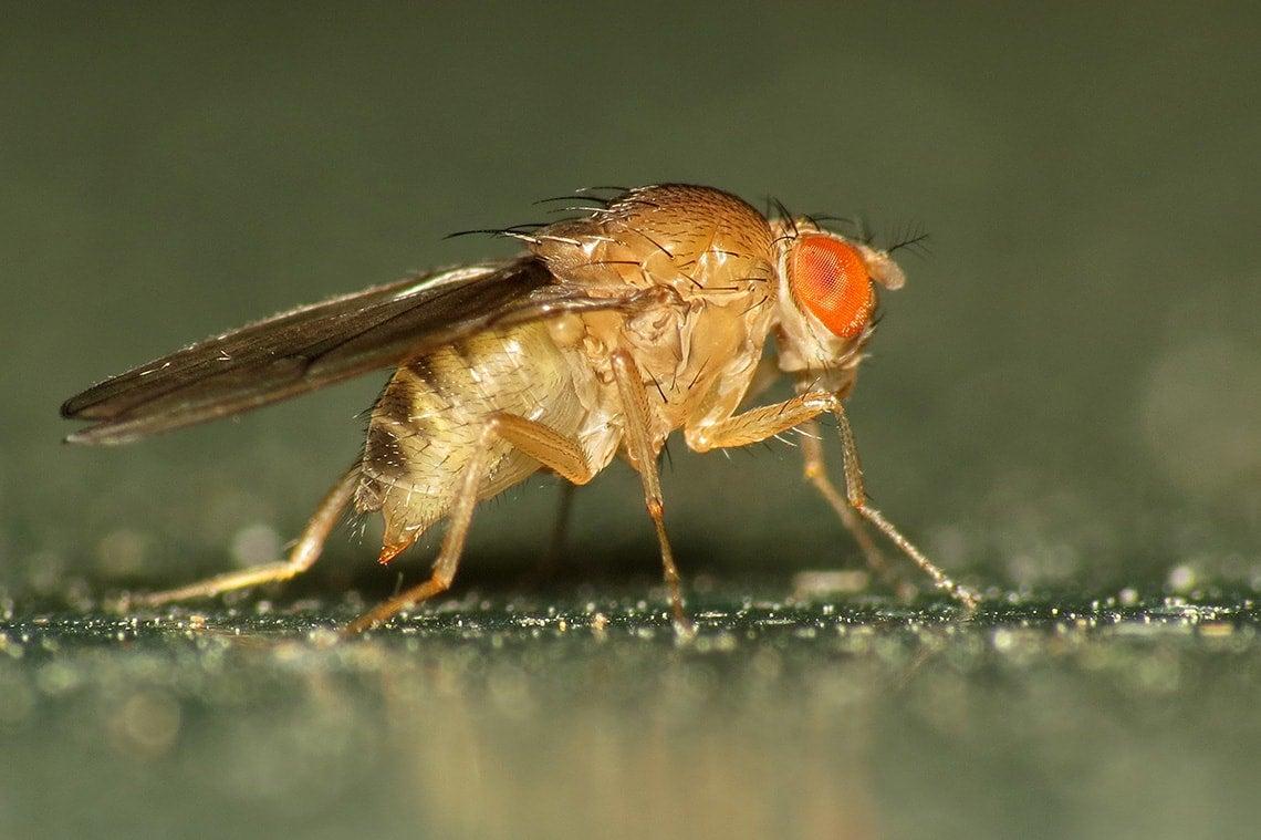Photo of Fruit Fly