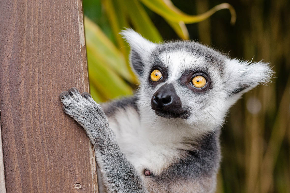 Photo of ring-tailed lemur