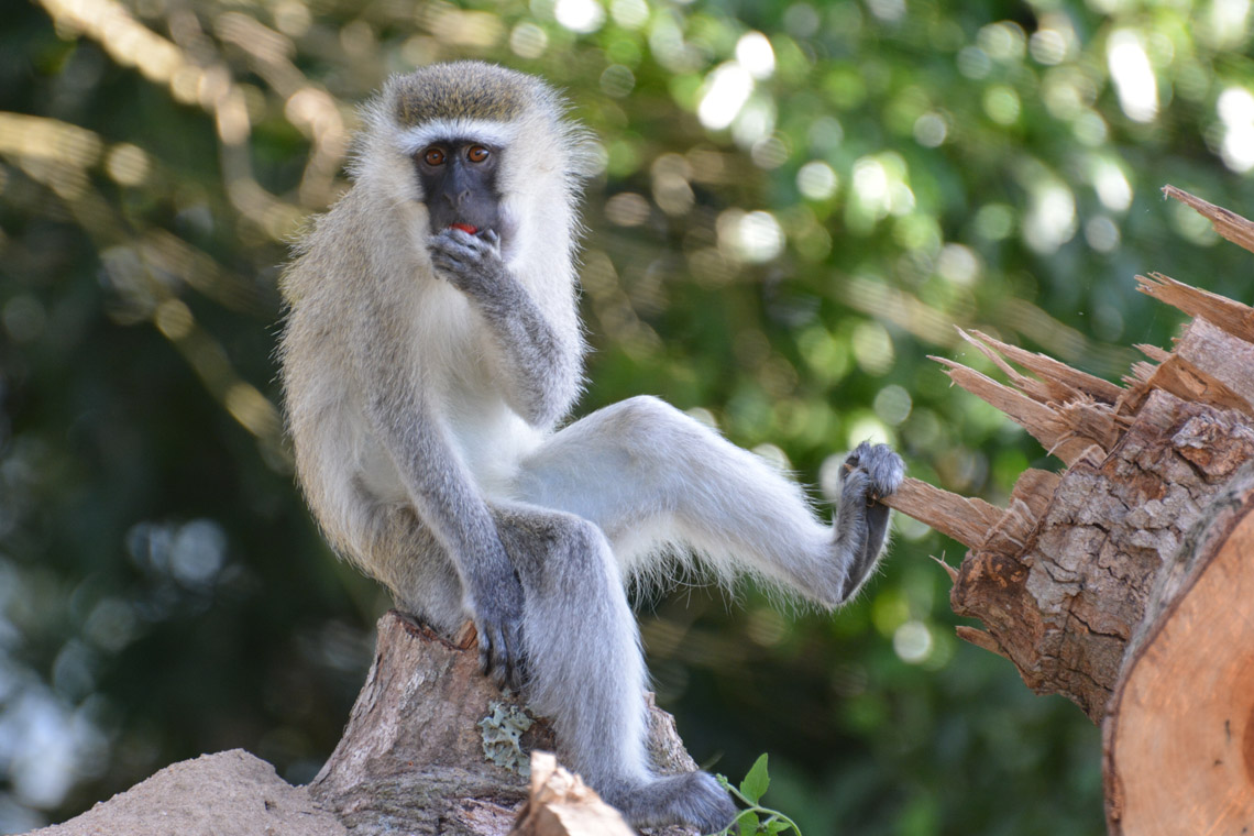 photo of vervet monkey