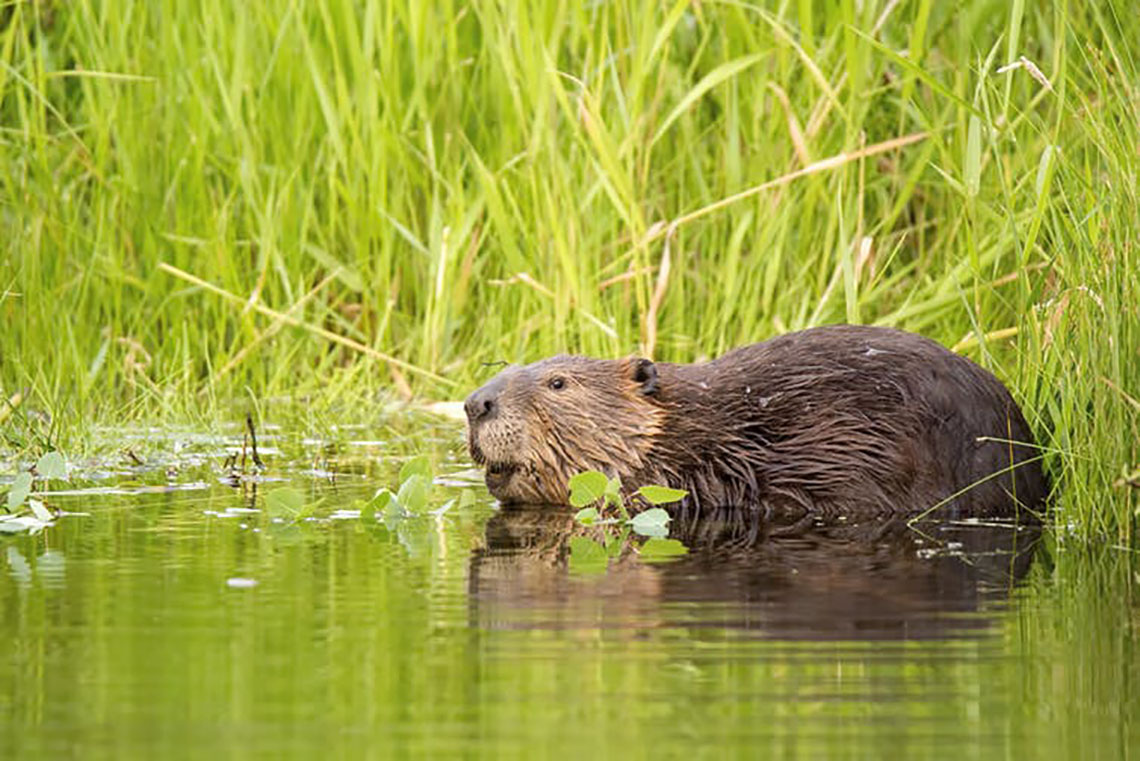 Photo of beaver