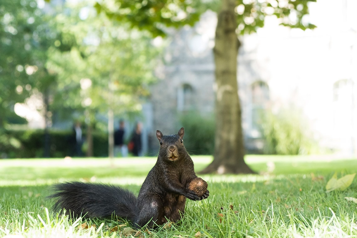 Squirrel holding acorn on campus