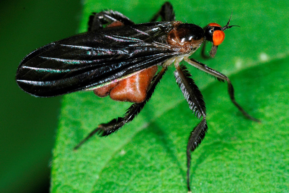 Hairy legs and inflatable abdomens: How female dance flies ...