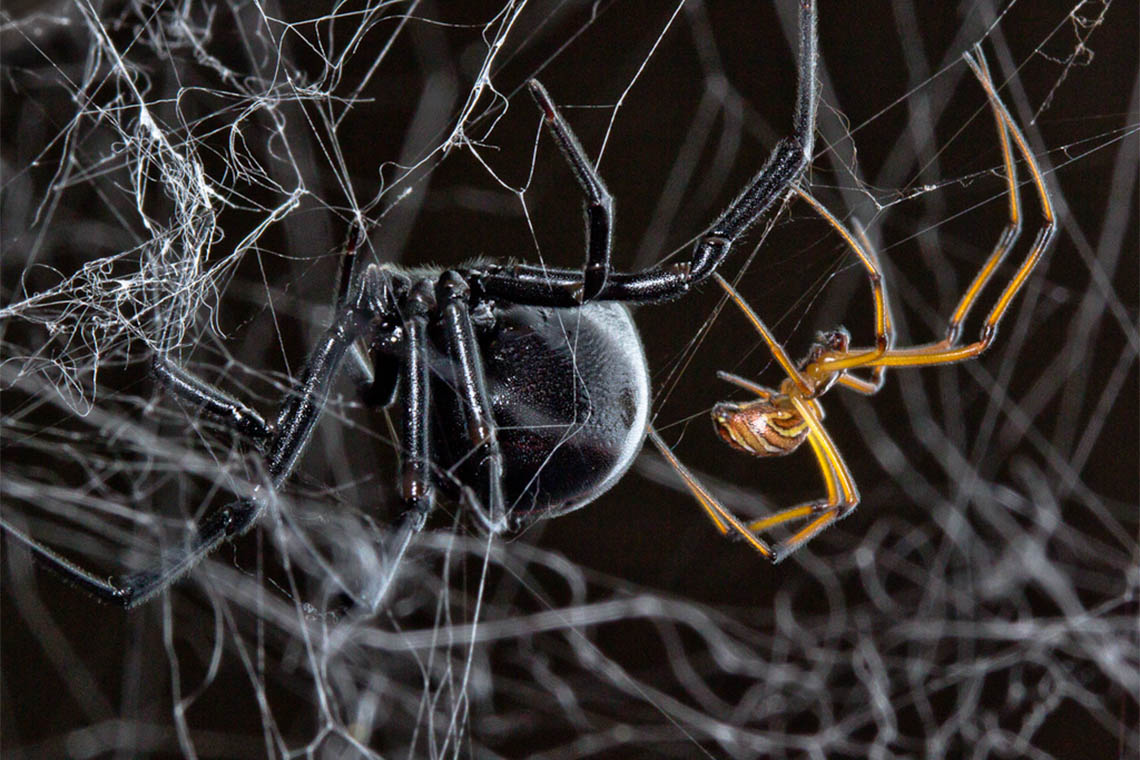 Female (left) and male (right) black widow spiders