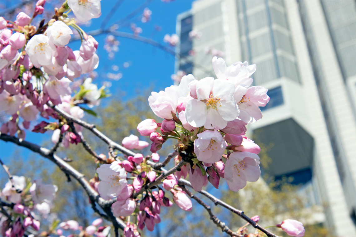 photo of cherry blossoms outside Robarts Library