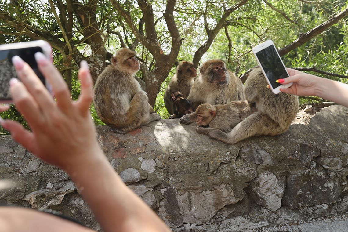 Tourists photograph barbary monkeys in Gibraltar using their cellphones