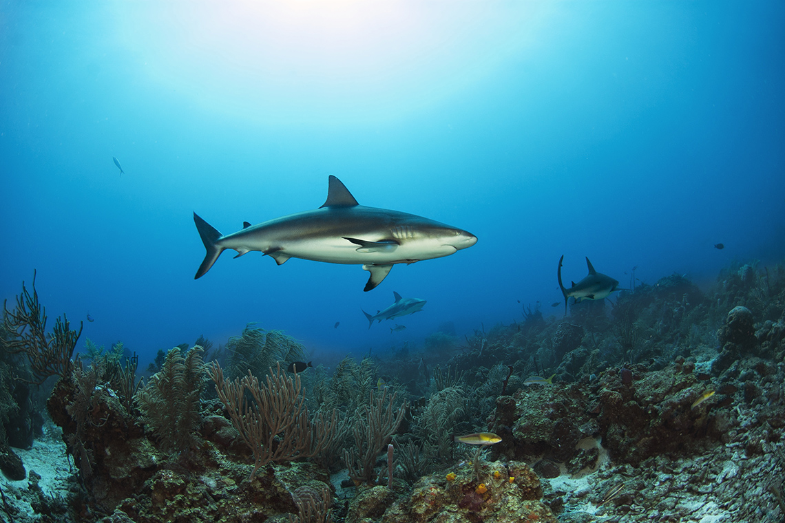 Sharks swimming by coral reef in Florida