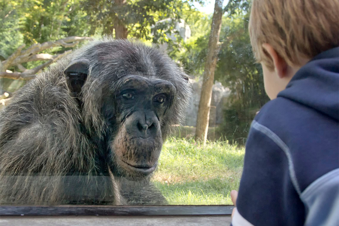 Photo of child looking at a chimp at the zoo