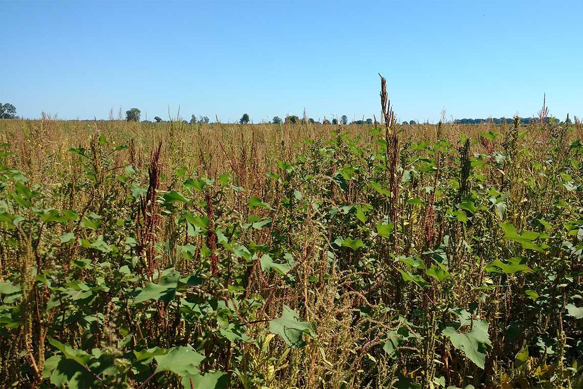 A field of soy bean plants on Walpole Island in Southwestern Ontario entirely overrun by common water hemp