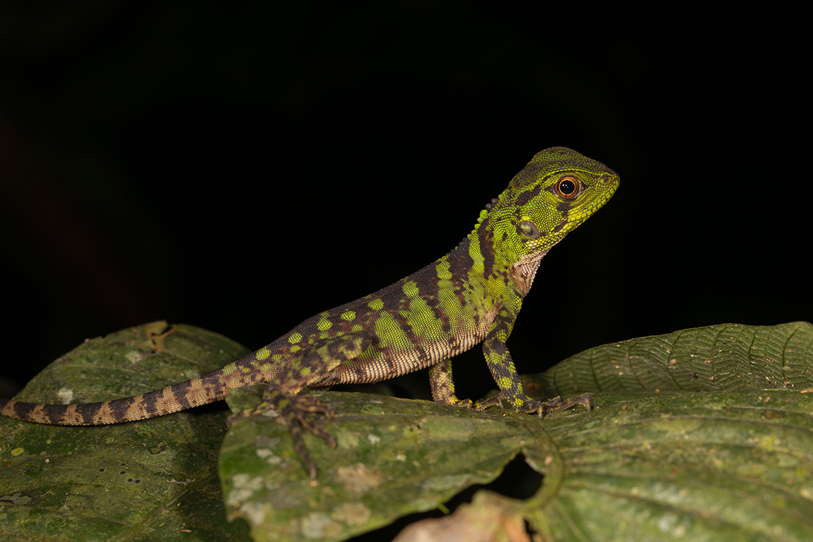 Photo of a lizard in Ecuador