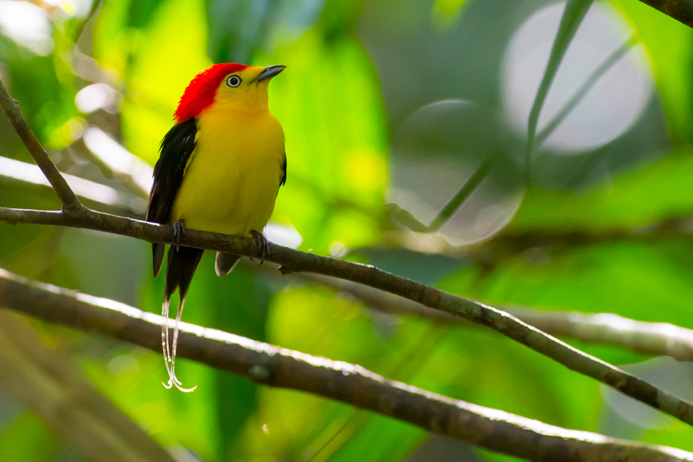 Wire-tailed Manakin in a tree