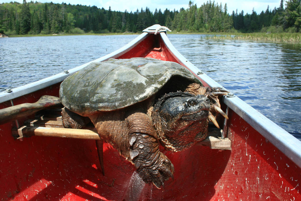 Snapping turtle in a canoe in Algonquin Park