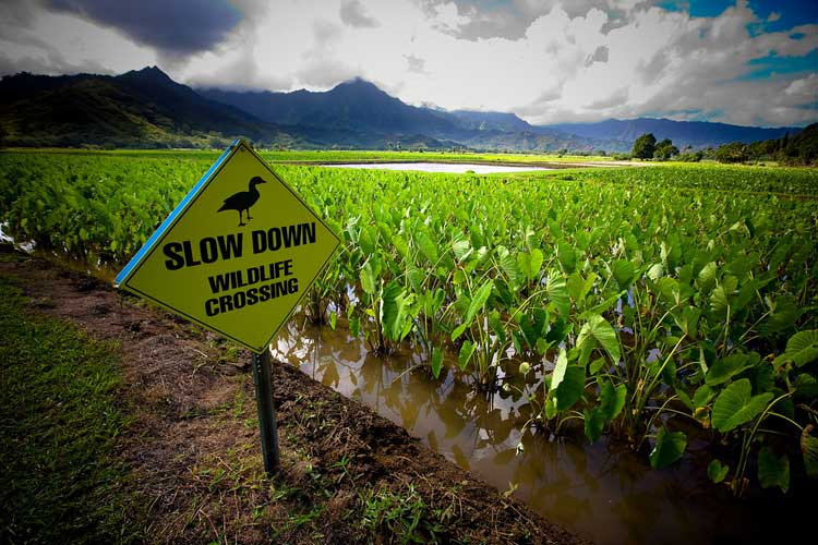photo of a taro field in Hawaii