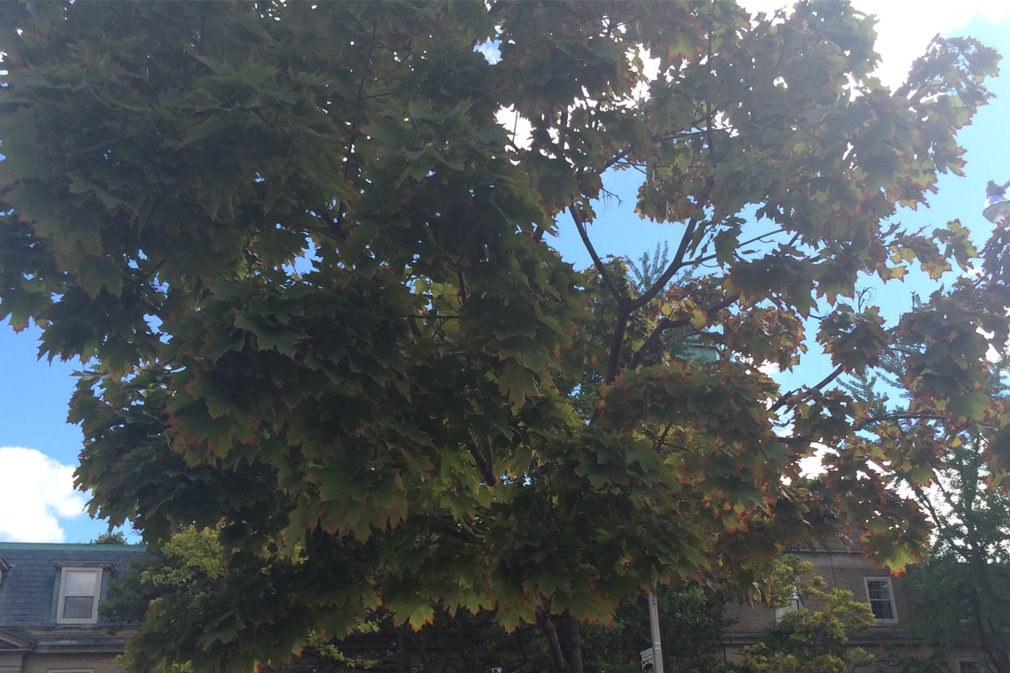 Photo of tree with yellowing and browning leaves
