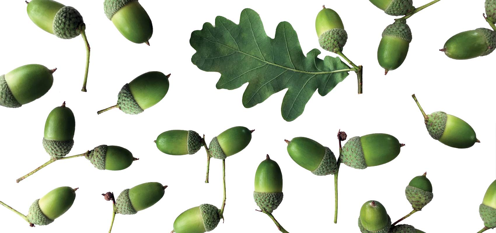 A repeating pattern made of green acorns and an acorn leaf on a white background