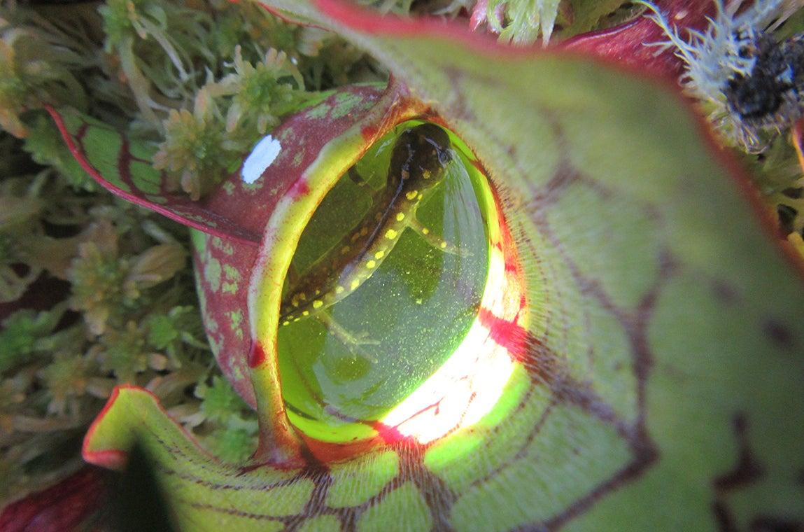 Salamander in pitcher plant