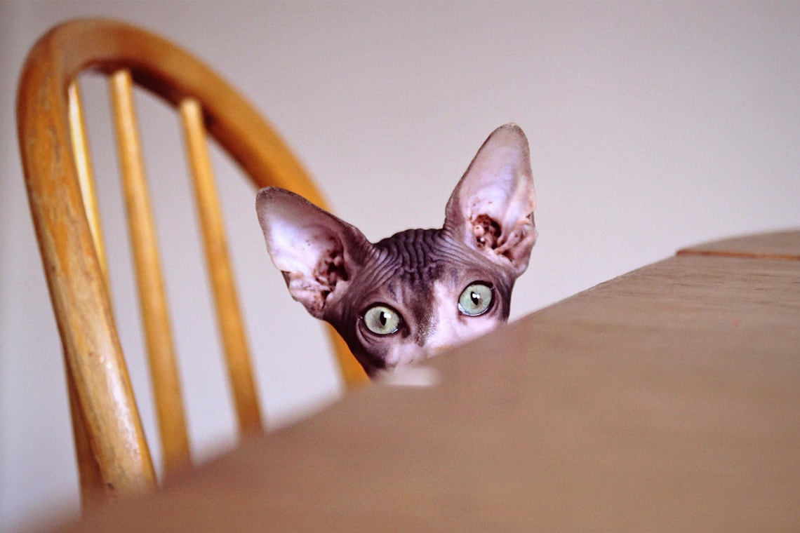 photo of Sphynx cat