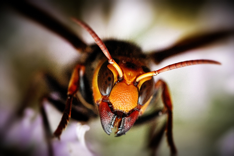 close up of a vesper mandarina aka murder hornet