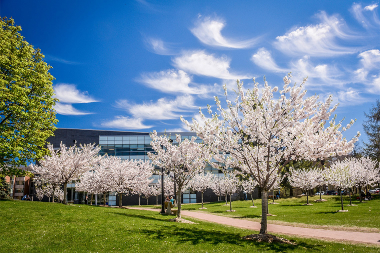 Cherry tree blossoms at UTSC