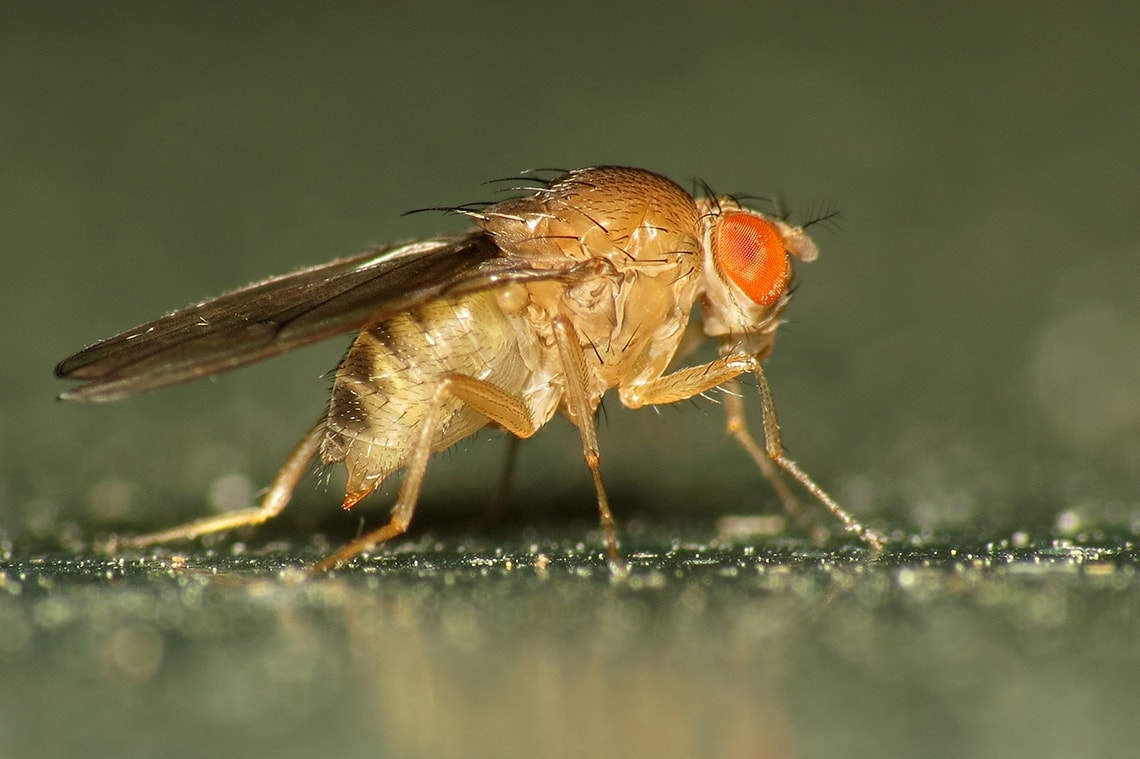 Photo of Fruit Fly