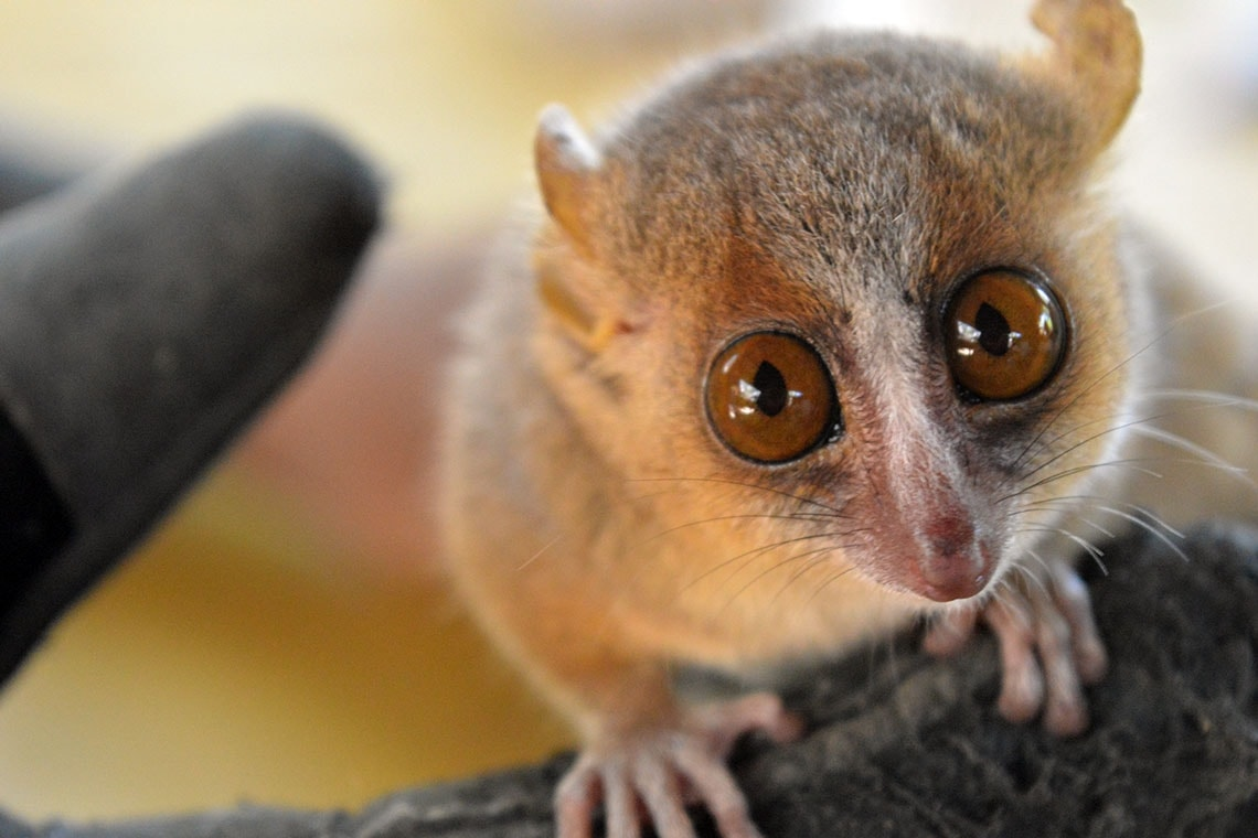 Photo of mouse lemur's face at close range