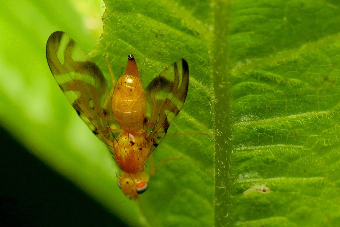 Photo of a fruit fly