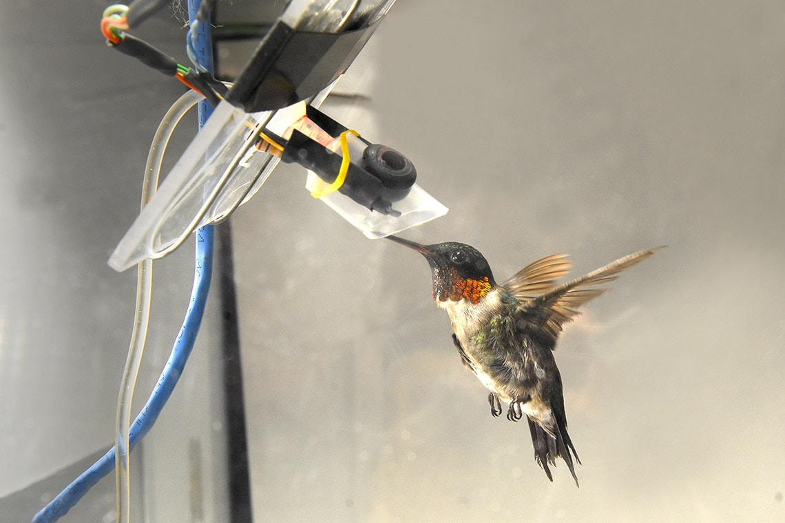 Photo of hummingbird feeding from a tube