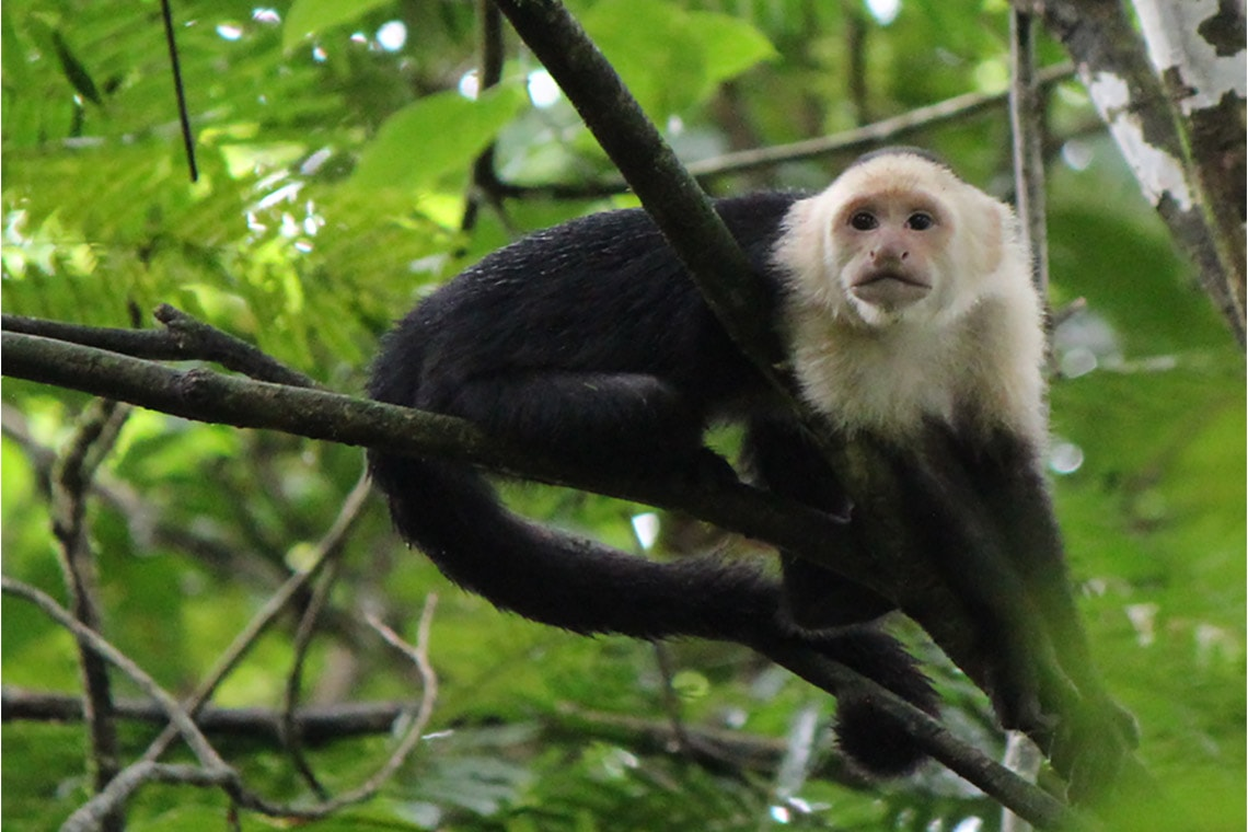 Photo of white-faced capuchin monkey