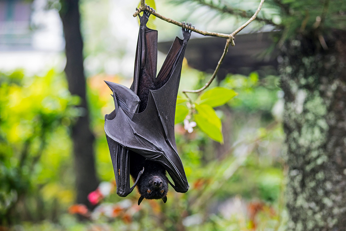 photo of a fruit bat hanging in a tree