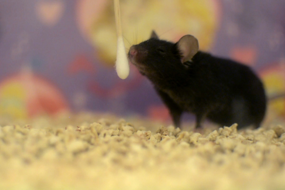 Photo of mouse sniffing cotton swab