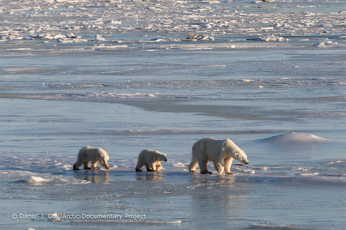photo of polar bears in Arctic waters