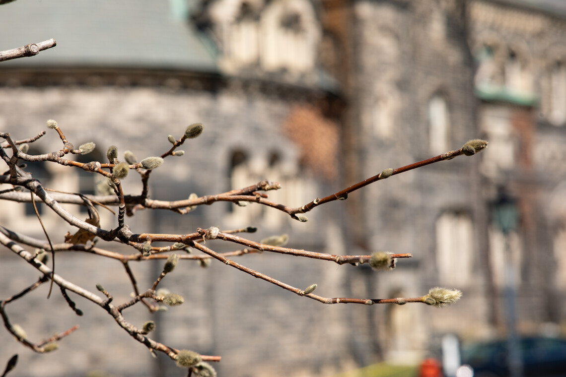 Close up of trees budding on the St. George campus