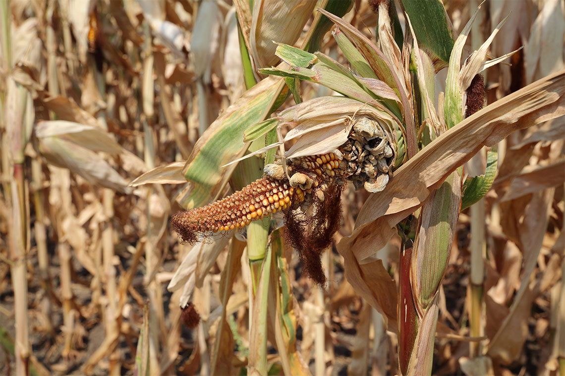 photo of a damaged corn plant in the field