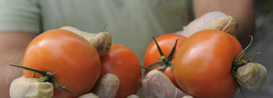 Photo of tomatoes grown in greenhouse