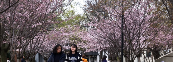 Cherry blossoms outside Robarts Library