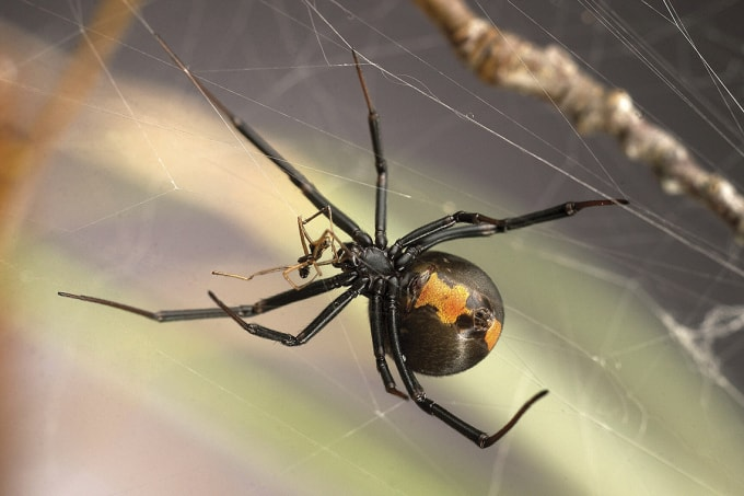 Photo of redback spider