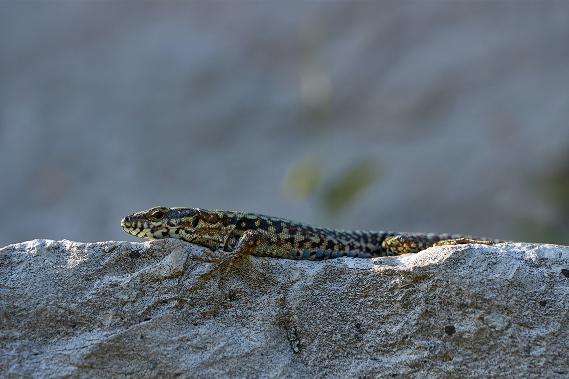 A wall lizard rests on a rock